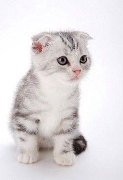 Догляд за шотландської вислоухой кішкою