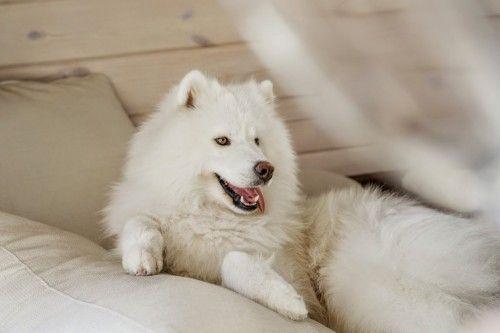 Догляд за собакою породи самоед