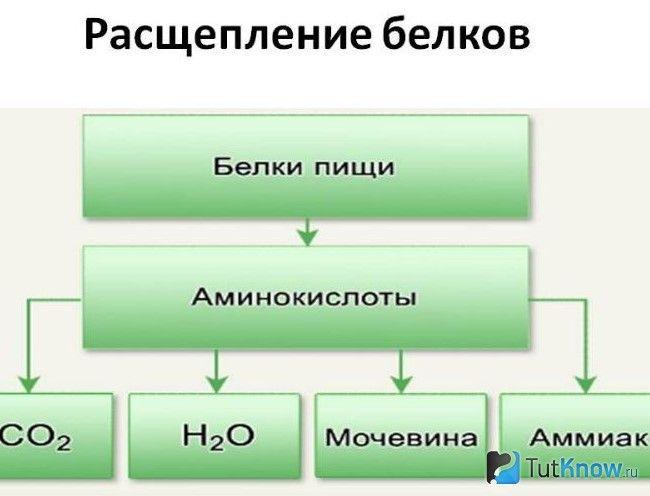 Схематичне зображення процесу розщеплення білка