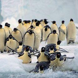 У чому секрет полювання імператорських пінгвінів?