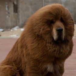 У китайському зоопарку собаку видали за лева