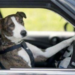 У новій зеландії собак навчили водити машину