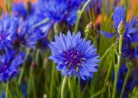 Волошка синя: властивості, застосування і рецепти