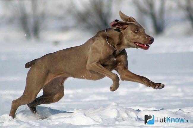 Веймаранер біжить