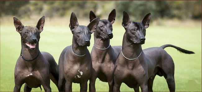 Зовнішній стандарт мексиканської голої собаки, ціна цуценя