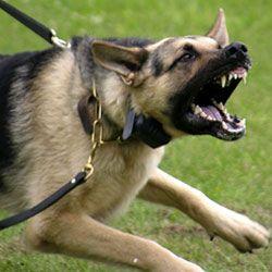 Раптова агресія у собак - ознака болі