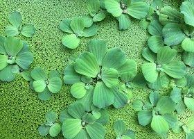 Водяний салат пистия: вирощування в домашніх умовах