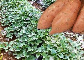 Вирощування батата