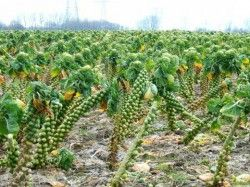 Вирощування брюссельської капусти