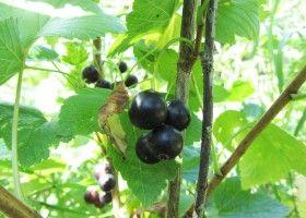 Вирощування чорної смородини