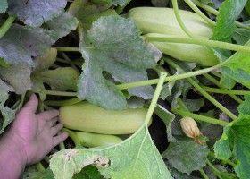 Вирощування кабачків у відкритому грунті