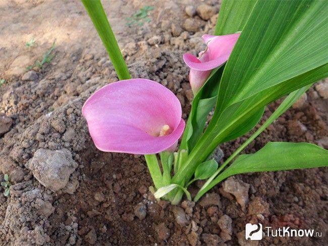 Вирощування кали в саду