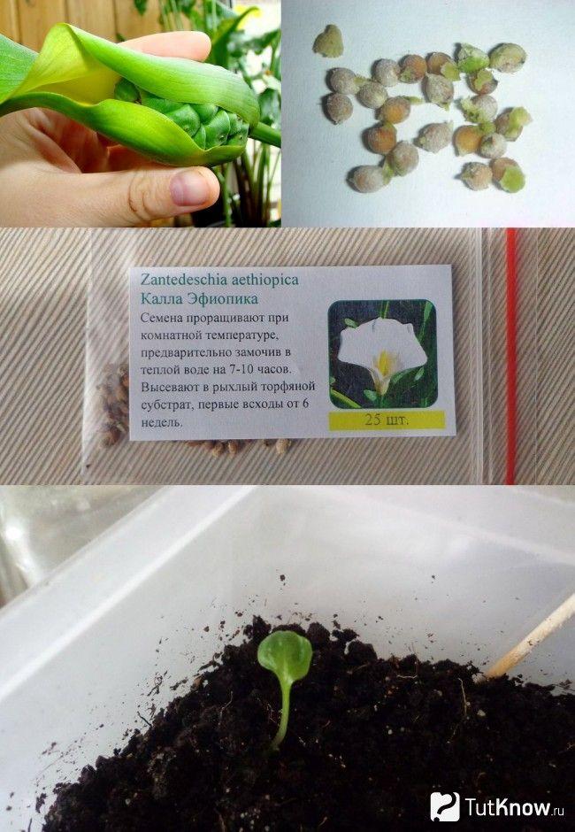 Розмноження кали насінням
