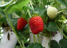Вирощування полуниці з насіння і вусів
