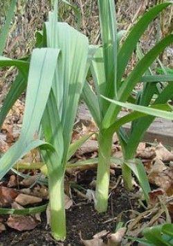 Вирощування цибулі-порею