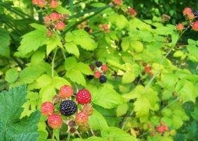 Вирощування малини: догляд, обрізка і підготовка до зими