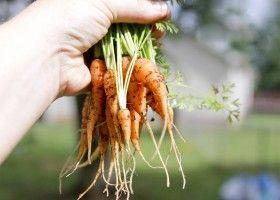 Вирощування моркви і догляд