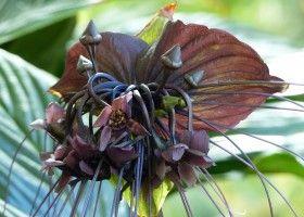 Вирощування орхідеї такка і правила догляду за нею
