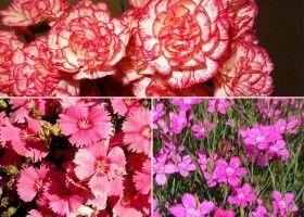 Вирощування садової гвоздики шабо, турецької та травянки