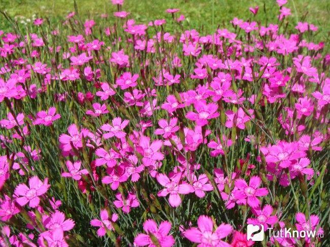 Гвоздика травянка - вирощування і догляд