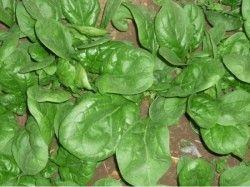 Вирощування щавлю з насіння