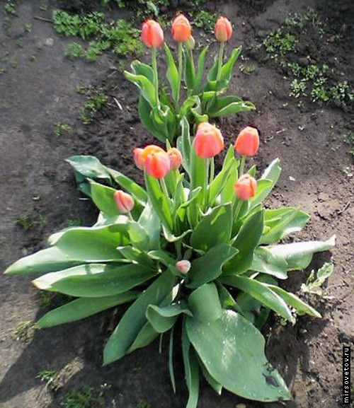 Вирощування тюльпанів, посадка і догляд