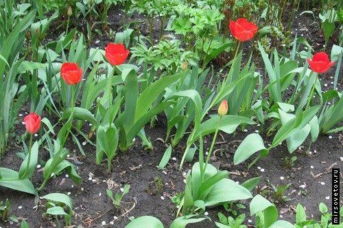 "`тюльпани"""