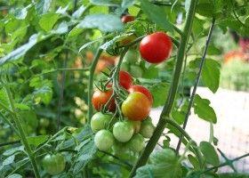 Вирощування томатів на дачі