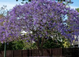 Жакаранда: поради по вирощуванню і розмноженню палісандрового дерева