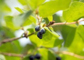 Жимолость: поради по вирощуванню самій ранній ягоди